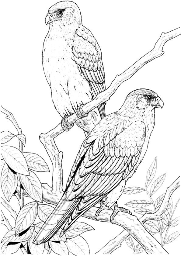 Ausmalbilder Falken
